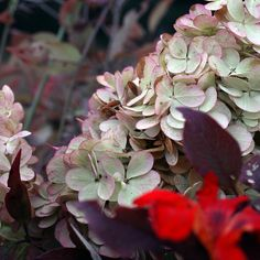 hydrangea_red by Sarah Ryhanen, via Flickr