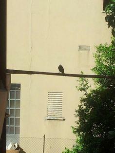 Lu piccione solitario