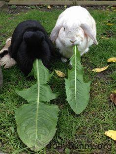 Bunnies devour enormous dandelion greens - August 31, 2015