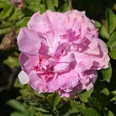 Mrs. Doreen Pike Exceptionally fragrant rugosa rose  Repeat Blooming 4' x 4'; Z 4-9