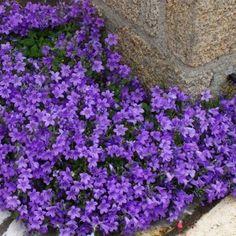 Lavandula Angustifolia, Purple Garden, Blue Pearl, Dream Garden, Garden Plants, Outdoor Decor, Menu, Gardens, Flowers