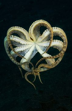 Mimic octopus, Lembeh Strait, Indonesia