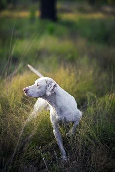 Photo Credit: Andy Anderson. An English pointer locks up in a field on SouthWind Plantation.