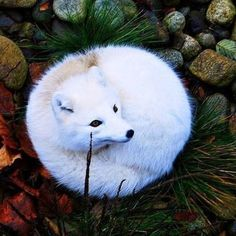 polar fox