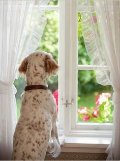 Pets are like your kids.they can also suffer from separation anxiety. Dog Separation Anxiety, Dog Anxiety, Anxiety In Children, Anxiety Relief, Schnauzers, Pugs, Dog Training Classes, Looking Out The Window, Anxiety Treatment