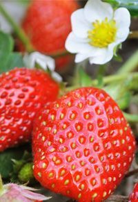 I can seriously eat a carton a day. Strawberry Delight, Strawberry Fields Forever, Strawberry Recipes, Potluck Desserts, Seed Pods, Pink Summer, Vegetable Garden, Berries, Seeds