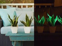 Also known as snake plant, Glowee is a living nightlight. Give it a little natural sunlight each day, and you'll be rewarded with a soft green and gold glow as night arrives. Glowee is a succulent, so it doesn't need much water to keep it going. Keep soil on the dry side. This plant can tolerate very low interior light levels, although the glowing effect diminishes.