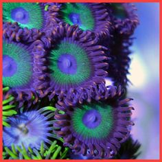 Zoanthids...A member of the phylum Cnidaria, zoanthid coral is a colonial anemone closely related to single anemones. Zoanthid coral have some characteristics we associate with plants and some with animals. They grow in the ocean as a group, permanently attach to reefs, feed like anemones, and propagate like coral.