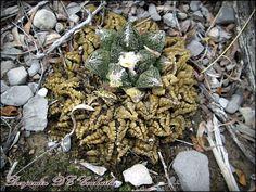 Ariocarpus fissuratus ssp. fissuratus Cuatro Cienegas Coahuila