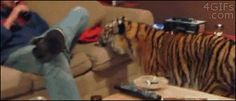 Funny pictures about Sofa tiger. Oh, and cool pics about Sofa tiger. Also, Sofa tiger. Funny Animal Videos, Funny Animals, Cute Animals, Big House Cats, Big Cats, Animal Pictures, Funny Pictures, Funny Pics, Hilarious