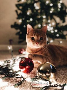 Still Haven't Taken Down Your Christmas Tree? - Still Haven't Taken Down Your Christmas Tree? Cat Christmas Cards, Noel Christmas, Christmas Animals, Christmas Lights, I Love Cats, Crazy Cats, Cute Cats, Tier Fotos, Ginger Cats
