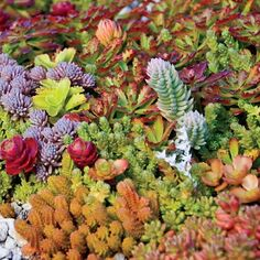 Sedum Carpet | Spring Hill Nursery $17.99 for 6 (not sure how many pots, but love all this color!!)