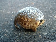 The common rain frog or Bushveld rain frog (Breviceps adspersus) is a species of frog in the Brevicipitidae family.[2] It is found in Angola, Botswana, Mozambique, Namibia, South Africa, Swaziland, Zambia, and Zimbabwe.