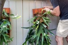 Platycerium Planters (Elkhorn and Staghorn Fern Mounts) Container Gardening Vegetables, Succulents In Containers, Container Flowers, Container Plants, Vegetable Gardening, Gardening Tips, Staghorn Plant, Staghorn Fern Mount, Indoor Ferns