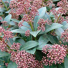Skimmia Japonica - 'Rubella' (Skimmia)kan op schaduwrijke plek. Groenblijvend. Winterhard.
