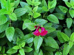 Ποιο βότανο πρέπει να βρίσκεται σε κάθε ντουλαπάκι;Ένα βότανο πολυεργαλείο! Herbs, Stuffed Peppers, Plants, Food, Decor, Decoration, Stuffed Pepper, Essen, Herb