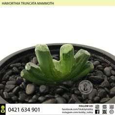 Quality succulents, cacti and houseplants for sale - Adelaide, SA, Australia Succulents For Sale, Houseplants, Roots, Cactus, Indoor House Plants, House Plants, Interior Plants