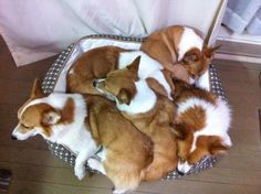 I think we need to invest in another bed, corgi pile