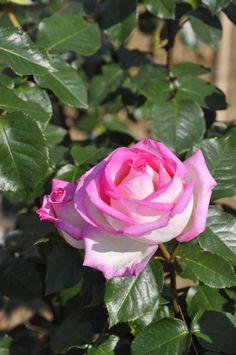 'Princess de Monaco' | Hybrid Tea Rose. Production in 1982 France Meilland