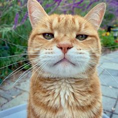 Best of Tabby Cats pictures: Animals And Pets, Baby Animals, Funny Animals, Cute Animals, Gatos Cat, Domestic Cat, Beautiful Cats, Cat Breeds, Crazy Cats