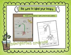 Parts of a Lima Bean Labeling Activity (from Kindergarten Crayons; free)