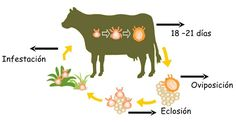 piroplasmosis bovina ciclo - Buscar con Google