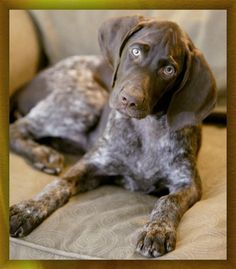 """German Shorthaired Pointer Male Puppy ~ """"Vegas"""" ~ Photo by Russ Powell"""