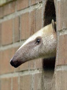 anteater!