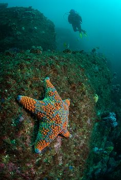 Firebrick Sea Star (Asterodiscides Truncatus)