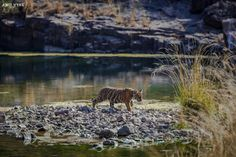Tiger Cub crossing Island !! by Amit Vyas Photography on 500px