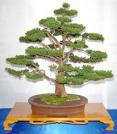 RP: Cryptomeria Japonica - Japanese Cedar
