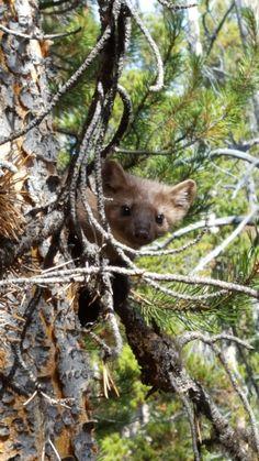 I met a tree weasel in Yellowstone. #Cute