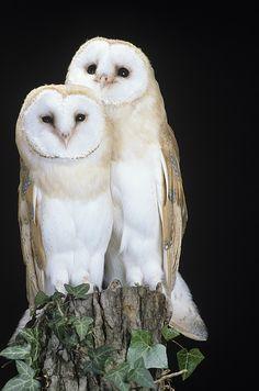Barn Owls - by David Aubrey