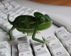 E o camaleão se prepara para fazer uma bela surpresa para a sua namorada.