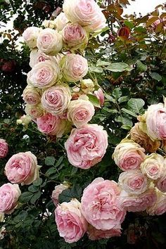 Very old fashioned cabbage roses ... Rose Shropshire Lad - English Austin