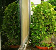 The Money Plant (or Epipremnum aureum) does the job of filtering out removing Formaldehyde and other VOC's (Volatile Organic Compounds).  #Epipremnum #efeutute #pflanzen #plants #pflanzenfreude
