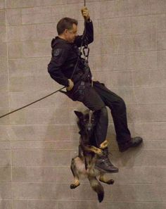"""This dog may want to think again about a career in policing as he is clearly terrified during this training exercise. Despite being attached to to a full body sling, Niko's face told the whole story as he tried his luck at being part of the fearsome K-9 unit for the Vancouver Police Department (VPD). A VPD spokesperson said: """"Rappelling is a vital skill for our tactical teams to have, and it tests both handler and dog."""