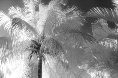 """Coconut Palms"", Photo by Harriet Blum.  I shot this Coconut Palm tree at Matheson Hammock in Miami, FL.  I used black and white infrared film."
