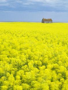 Barn and Canola Field, Southern Saskatchewan, Canada Photographic Print by Sam Chrysanthou yellow