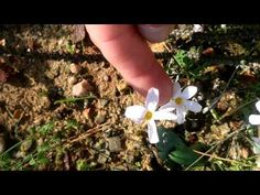 Haemanthus amarylloides toximontanus and pubescens AFRICAN BLOOD LILIES - YouTube