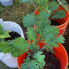 #kale growing in self-watering containers in the Learn & Grow test garden #TeachEverywhereGrowAnywhere learn-and-grow.org