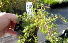 Thymian 'Orangenteppich' (Pflanze) Kraut, Orange, Herbs, Garden, Thyme Recipes, Medicinal Plants, Flowers, Strawberries, Garten