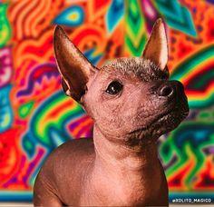 Mexican Hairless Dog, Curly Coated Retriever, American Akita, Bluetick Coonhound, Norwich Terrier, Mexico Art, Border Terrier, Doberman Pinscher, German Shepherd Dogs