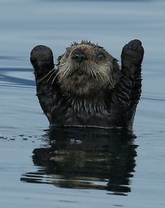 Northern Pacific Sea Otter with forearms raised 1CGS8862 by Charlie Summers / 500px