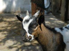 Kozy domácí v dětském koutku v ZOO Chleby. --- Holland pygmy goat in kids corner at ZOO Chleby.