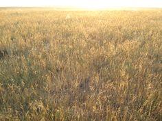 Prairie grass in light  http://dawnwink.wordpress.com/2013/02/02/meadowlark-the-veil-thins/