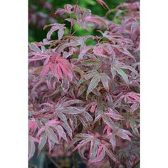 Acer palmatum 'Geisha Gone Wild'  - Geisha Gone Wild Japanese Maple