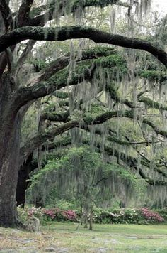 Huge old oak trees line a park in Savannah, Georgia