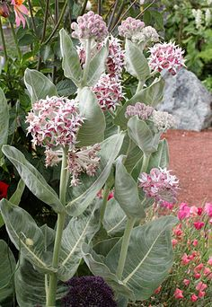 "Good practical info on Asclepias speciosa ""Showy Milkweed"" Butterfly Weed, Monarch Butterfly, Flowers For Butterflies, Pink Garden, Garden Bed, Fall Plants, Garden Plants, Hummingbird Garden, Unique Trees"