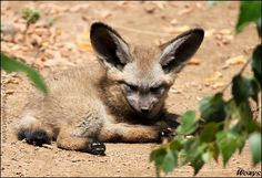 Very adorable baby Bat-eared fox / Big-eared dog (Otocyon megalotis, pes usaty) from ZOO Prague NEWEST PHOTO -------> My best friend *Allerlei took this awesome photo: :thumb191792075: _________... woxys